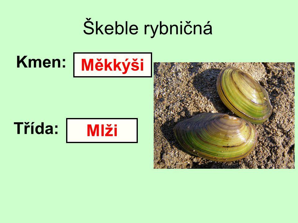 Škeble rybničná Kmen: Třída: Měkkýši Mlži