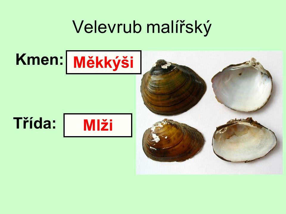 Velevrub malířský Kmen: Třída: Měkkýši Mlži