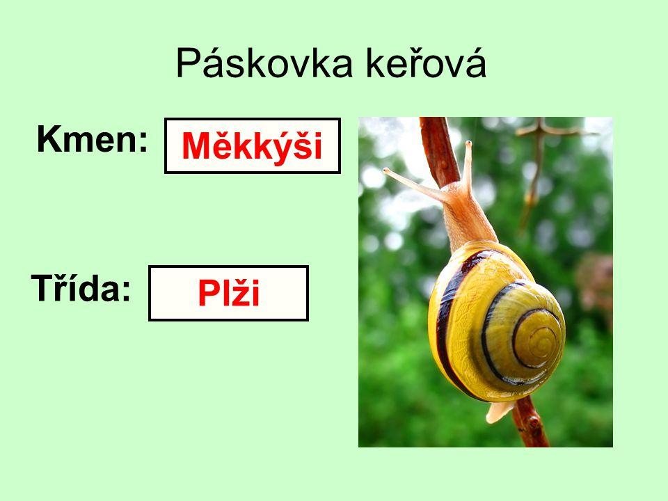 Páskovka keřová Kmen: Třída: Měkkýši Plži