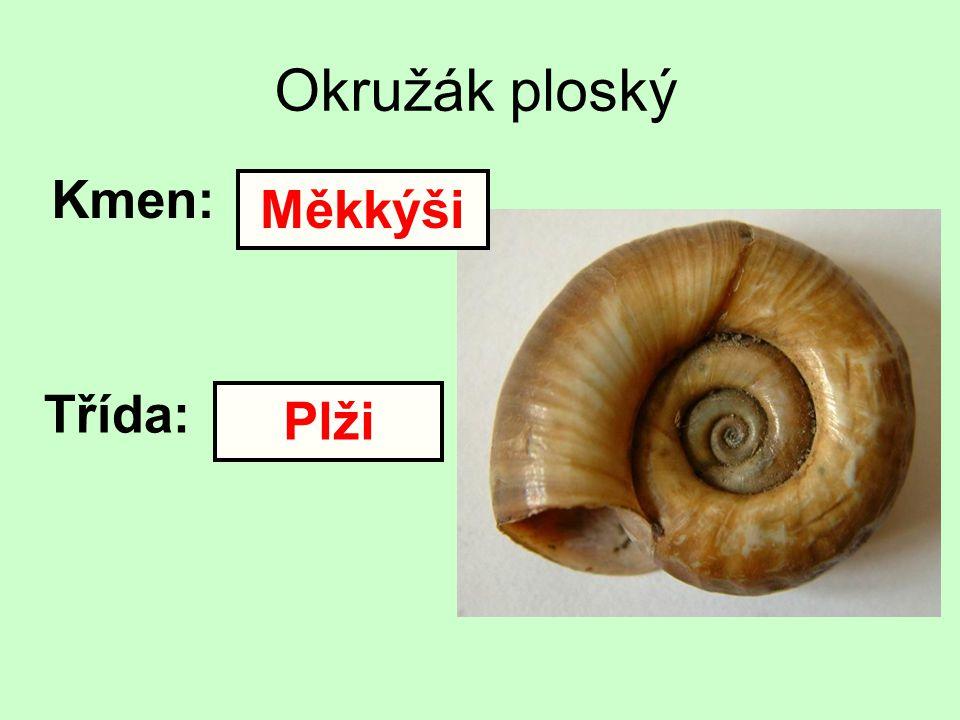 Okružák ploský Kmen: Třída: Měkkýši Plži