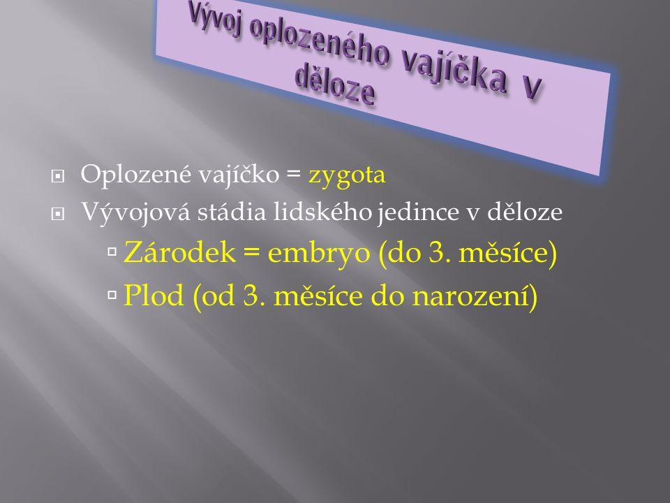 Oplozené vajíčko = zygota  Vývojová stádia lidského jedince v děloze  Zárodek = embryo (do 3. měsíce)  Plod (od 3. měsíce do narození)