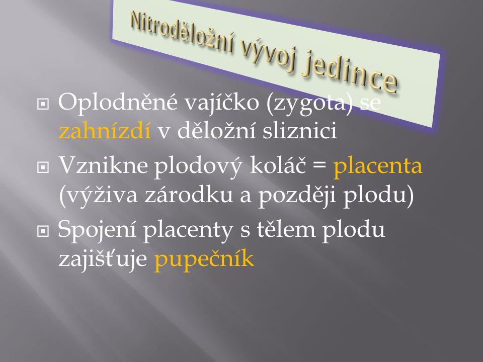  Oplodněné vajíčko (zygota) se zahnízdí v děložní sliznici  Vznikne plodový koláč = placenta (výživa zárodku a později plodu)  Spojení placenty s t