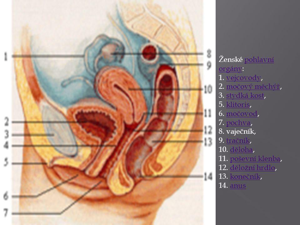Ženské pohlavní orgány: 1. vejcovody,pohlavní orgányvejcovody 2. močový měchýř, 3. stydká kost,močový měchýřstydká kost 5. klitoris,klitoris 6. močovo
