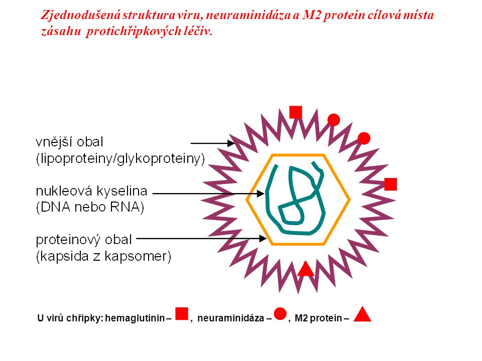 Zjednodušená struktura viru, neuraminidáza a M2 protein cílová místa zásahu protichřipkových léčiv. U virů chřipky: hemaglutinin –, neuraminidáza –, M