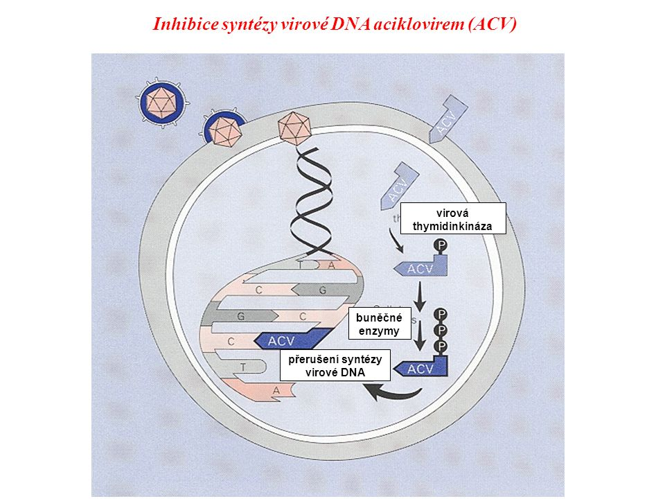 Rozdíly v mechanizmu účinku NRTI a NNRTI NNRTINRTI Intracelulární aktivace není nutná Nutná fosforylace na nukleosid 3P Alosterická inhibice nekompetitivní Kompetitivní inhibitor substrátu na katalytické podjednotce Konformační změny enzymu - jeho inaktivace Ukončení syntézy sekvence bazí Inhibice HIV-1 reverzní transkriptázy