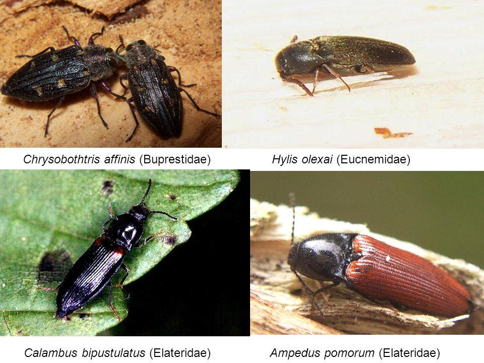 Chrysobothtris affinis (Buprestidae)Hylis olexai (Eucnemidae) Calambus bipustulatus (Elateridae)Ampedus pomorum (Elateridae)