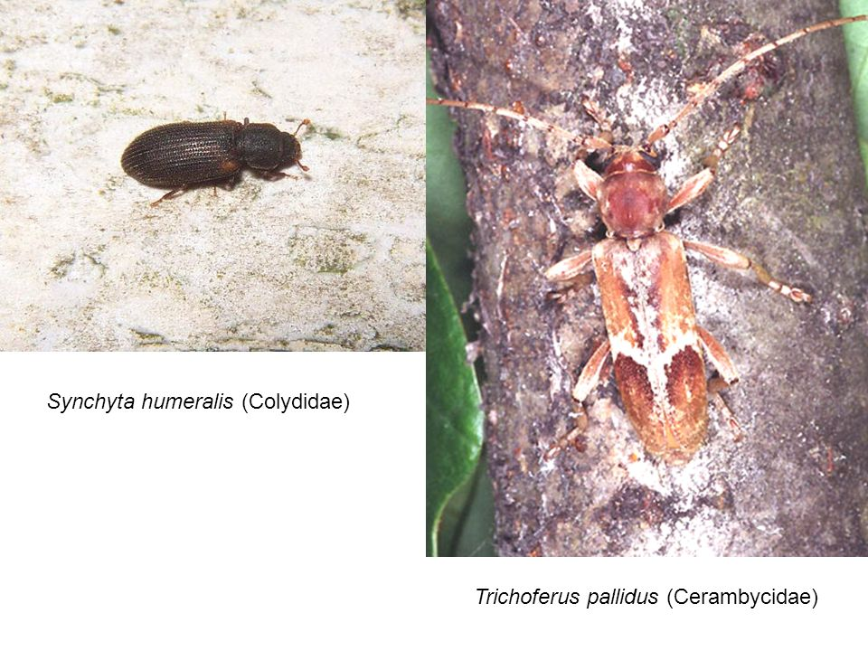 Synchyta humeralis (Colydidae) Trichoferus pallidus (Cerambycidae)