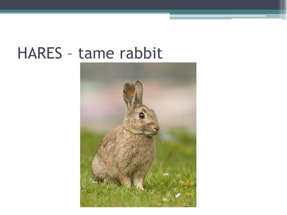 HARES – tame rabbit