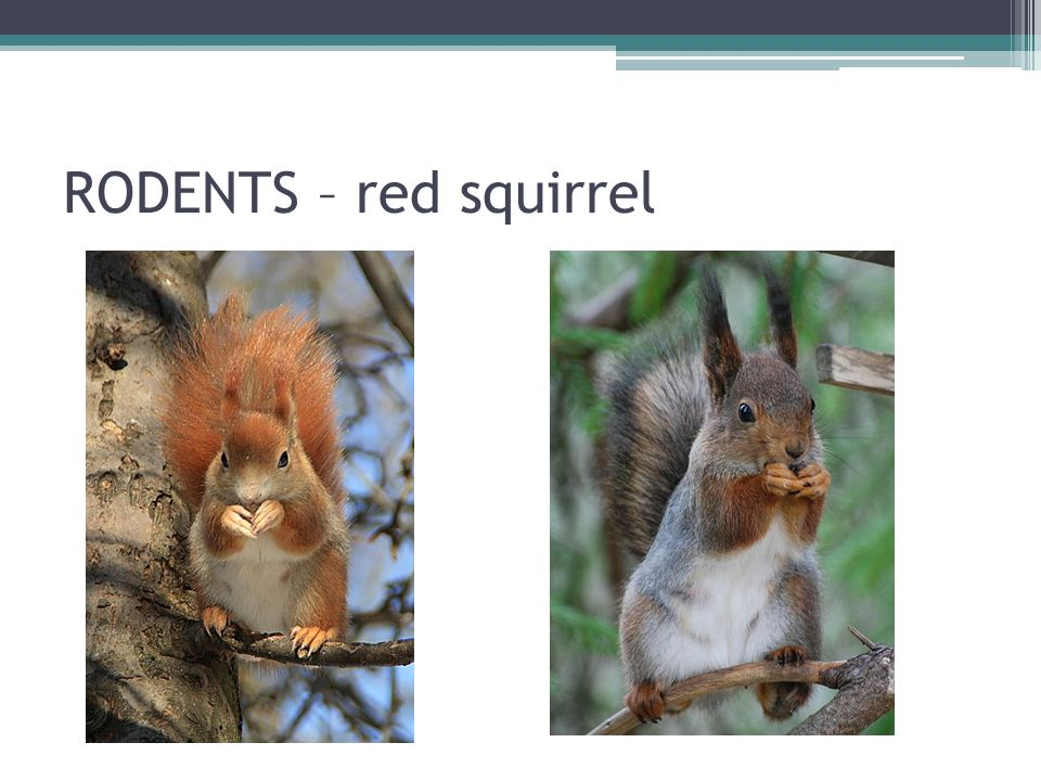 RODENTS – red squirrel
