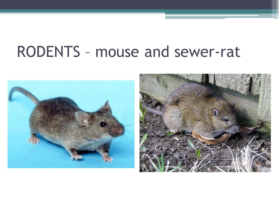 HLODAVCI A ZAJÍCI House mouse It lives close to a man It is spread all over the world Sewer-rat It is spread all over the world because of the shipping Humid places – canals, sewers They are transmitters of serious diseases