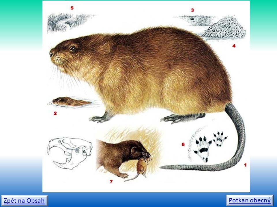 Zpět na Obsah Potkan obecný