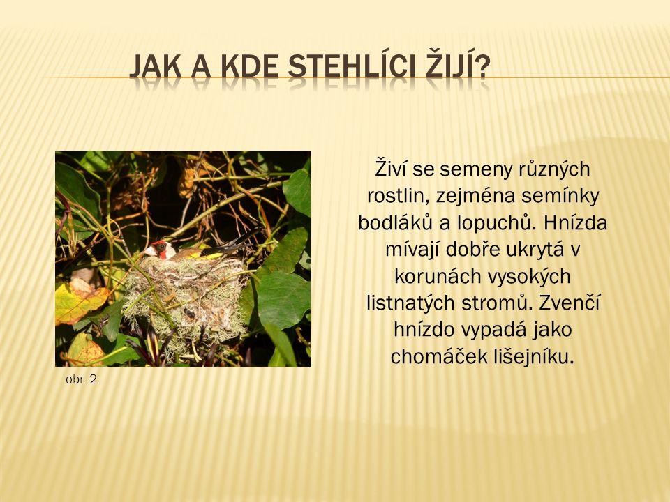 Živí se semeny různých rostlin, zejména semínky bodláků a lopuchů. Hnízda mívají dobře ukrytá v korunách vysokých listnatých stromů. Zvenčí hnízdo vyp