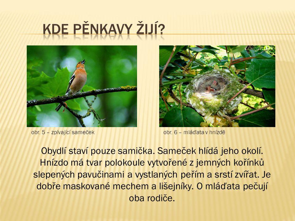 obr. 5 – zpívající sameček obr. 6 – mláďata v hnízdě Obydlí staví pouze samička. Sameček hlídá jeho okolí. Hnízdo má tvar polokoule vytvořené z jemnýc