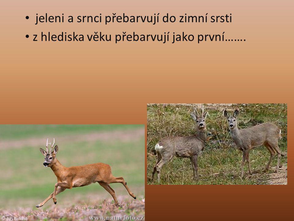 jeleni a srnci přebarvují do zimní srsti z hlediska věku přebarvují jako první…….