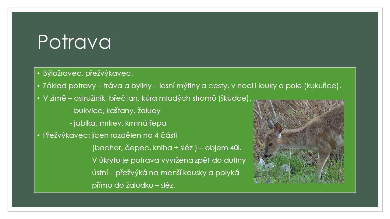 Rozmnožování V období říje lákají samci – jeleni samičku – laň svým hlasitým troubením.