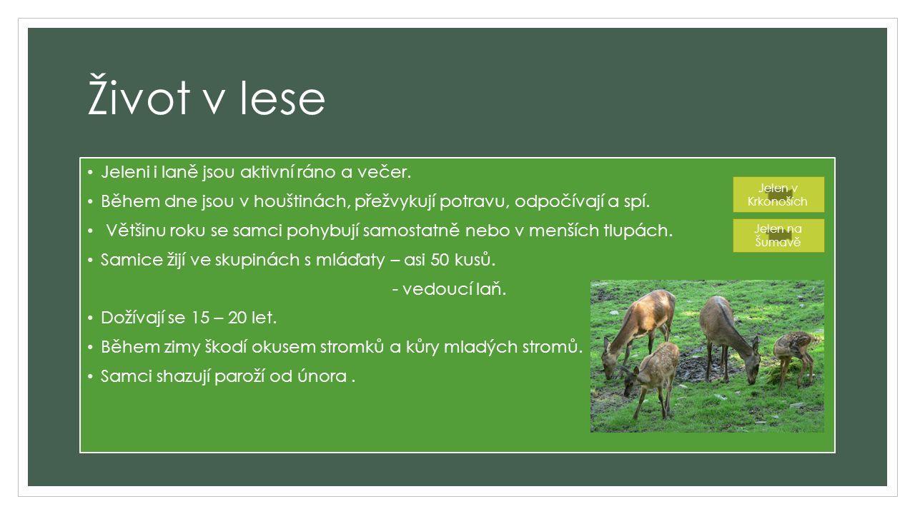 Paroží Kostěný výrůstek bez dutiny – znak samců.Mladé parohy jsou obaleny osrstěnou kůží.