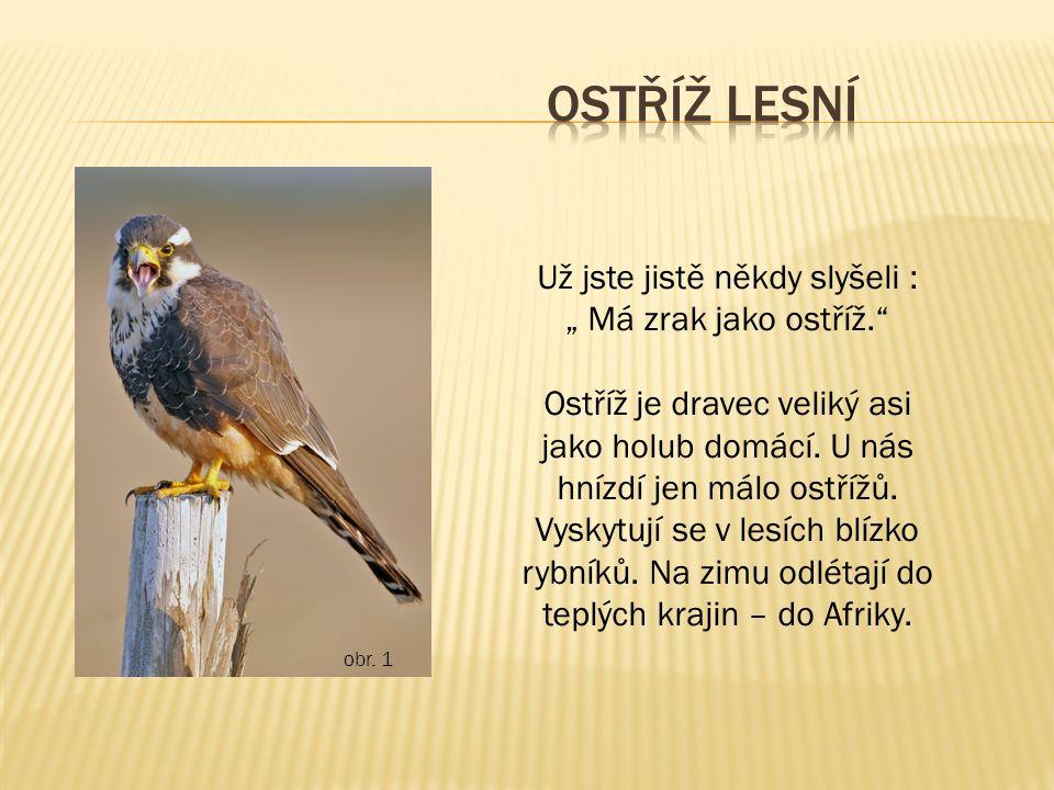 """obr. 1 Už jste jistě někdy slyšeli : """" Má zrak jako ostříž."""" Ostříž je dravec veliký asi jako holub domácí. U nás hnízdí jen málo ostřížů. Vyskytují s"""