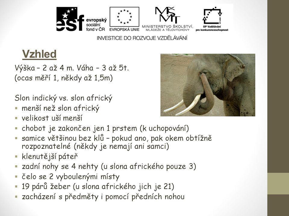 Vzhled Výška – 2 až 4 m. Váha – 3 až 5t. (ocas měří 1, někdy až 1,5m) Slon indický vs. slon africký  menší než slon africký  velikost uší menší  ch