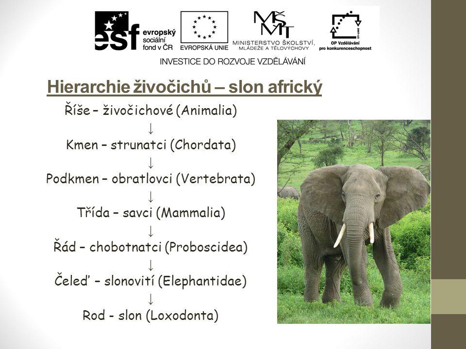 Hierarchie živočichů – slon africký Říše – živočichové (Animalia) ↓ Kmen – strunatci (Chordata) ↓ Podkmen – obratlovci (Vertebrata) ↓ Třída – savci (M