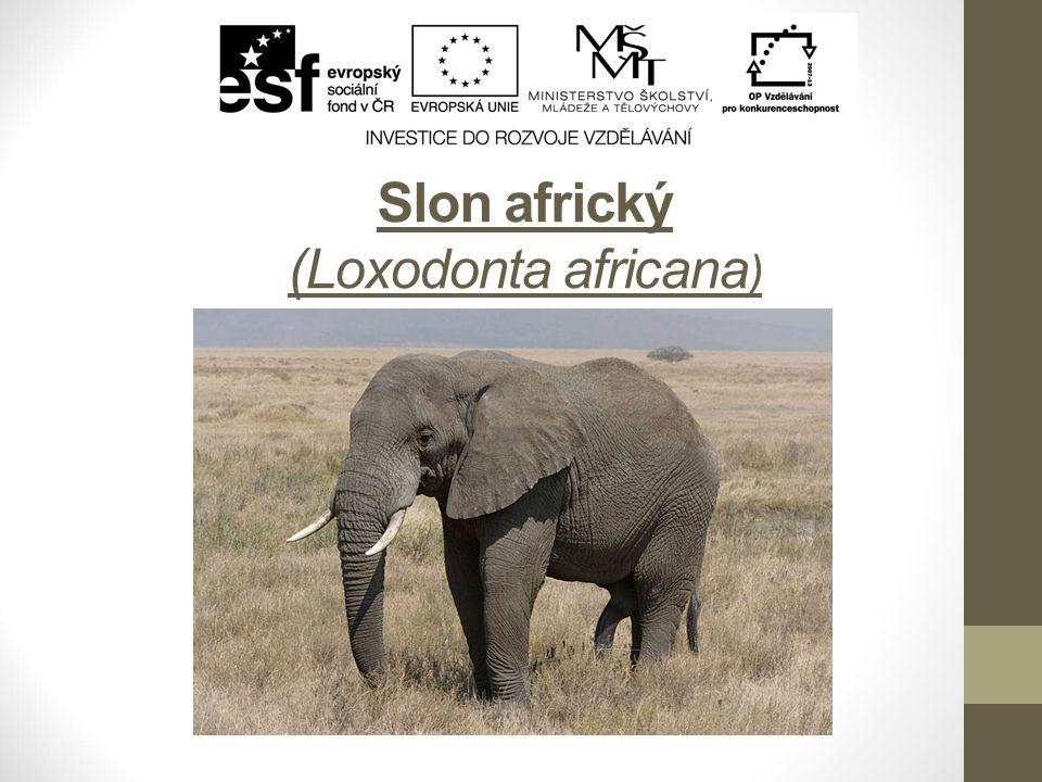 Slon africký (Loxodonta africana )