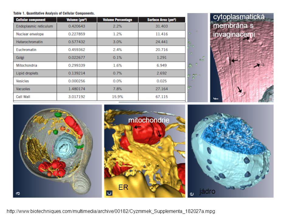 ER mitochondrie jádro cytoplasmatická membrána s invaginacemi http://www.biotechniques.com/multimedia/archive/00182/Cyzmmek_Supplementa_182027a.mpg