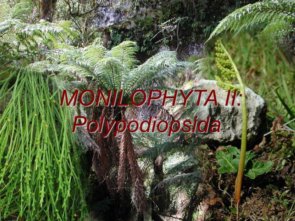 Morfologie - habitus heteromorfická rodozměna, převládá sporofyt převážně byliny, vzácněji dřeviny nebo epifyty, vodní byliny