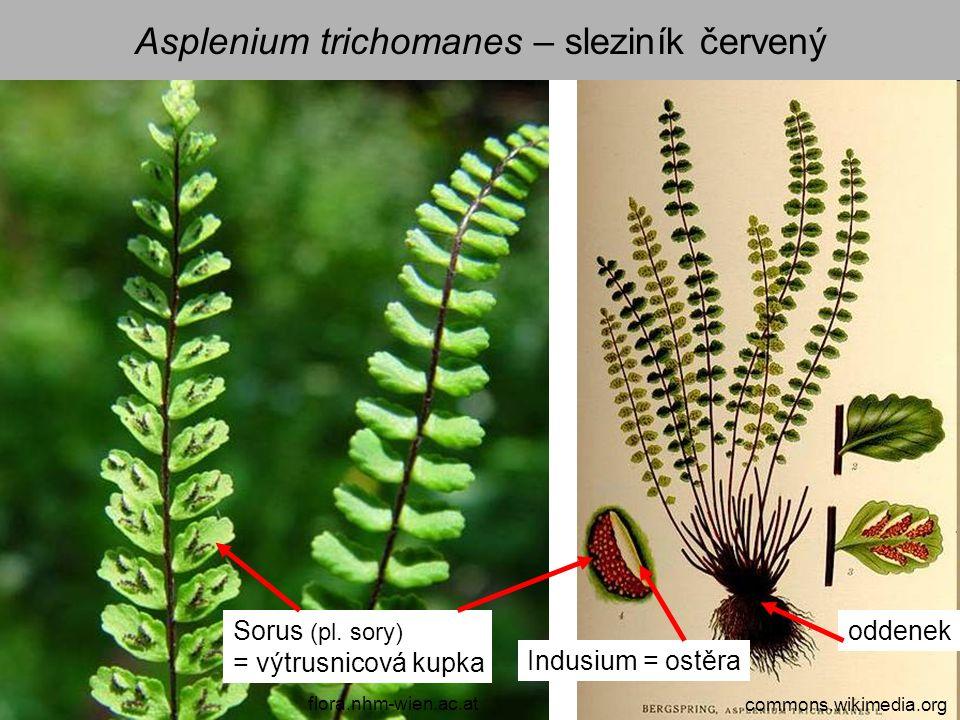 Asplenium trichomanes – sleziník červený commons.wikimedia.org flora.nhm-wien.ac.at Sorus (pl. sory) = výtrusnicová kupka Indusium = ostěra oddenek