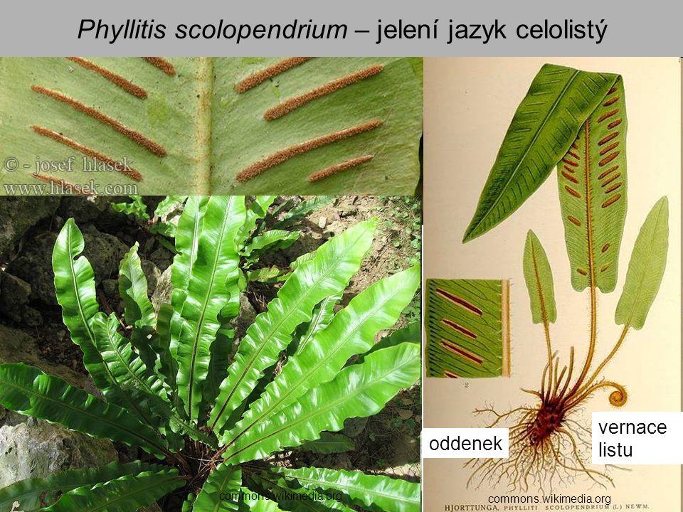 Phyllitis scolopendrium – jelení jazyk celolistý commons.wikimedia.org oddenek vernace listu