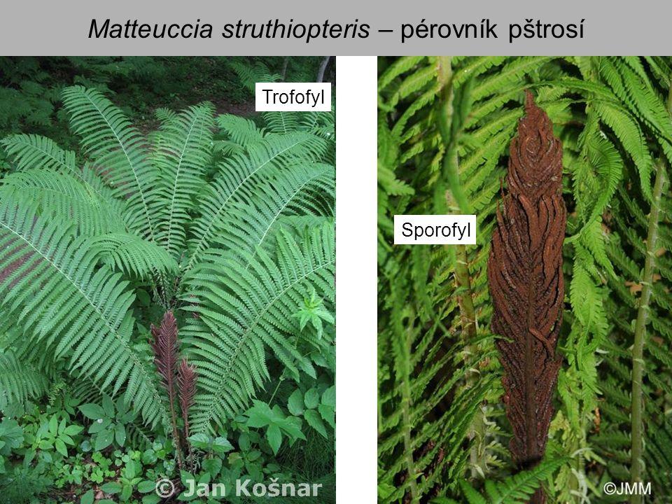 Matteuccia struthiopteris – pérovník pštrosí Trofofyl Sporofyl