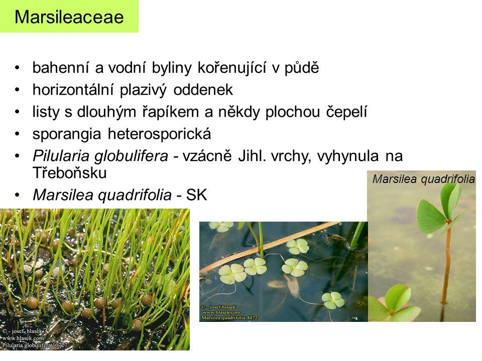 bahenní a vodní byliny kořenující v půdě horizontální plazivý oddenek listy s dlouhým řapíkem a někdy plochou čepelí sporangia heterosporická Pilulari