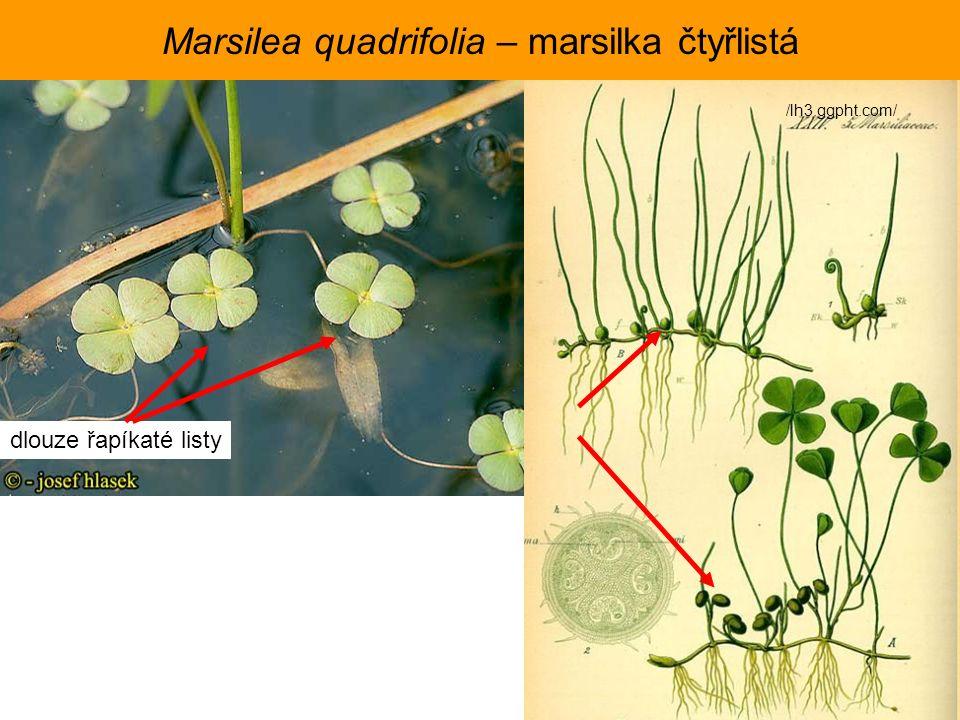 Marsilea quadrifolia – marsilka čtyřlistá /lh3.ggpht.com/ dlouze řapíkaté listy