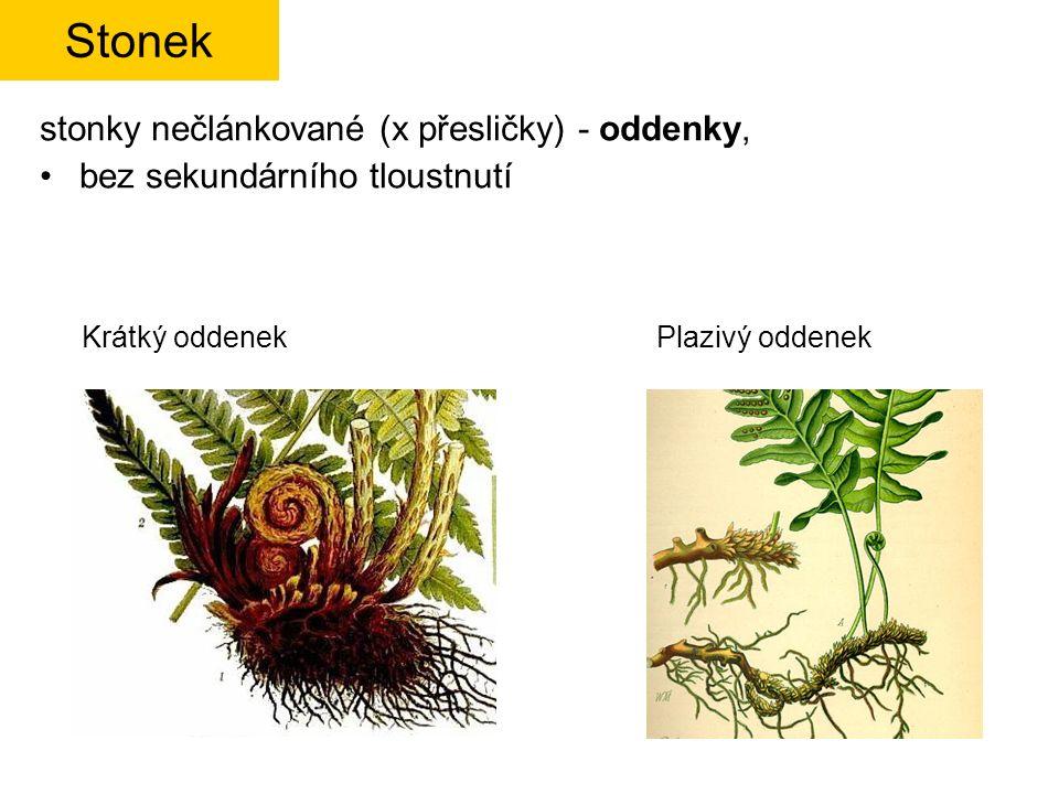 Dryopteris filix-mas – kapraď samec www.zum.de/stueber/lindman/ www.hlasek.com fr.academic.ru sporangium Kupka s ledvinitou ostěrou