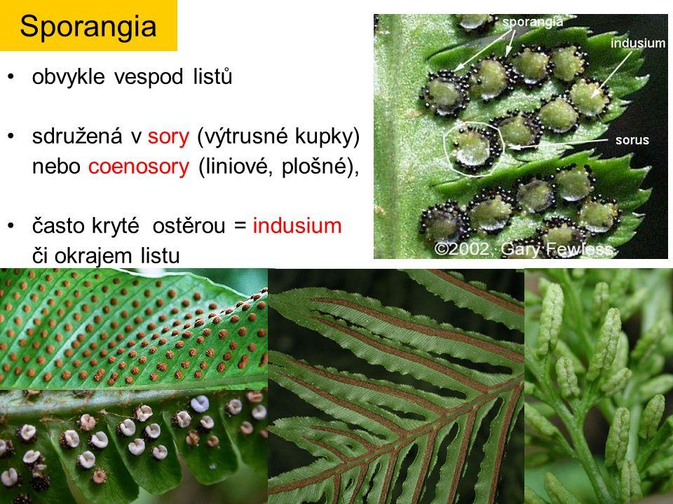 obvykle vespod listů sdružená v sory (výtrusné kupky) nebo coenosory (liniové, plošné), často kryté ostěrou = indusium či okrajem listu Sporangia