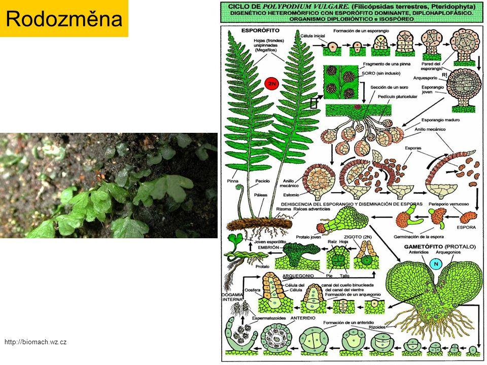 ODDĚLENÍ: Monilophyta TŘÍDY: Psilotopsida - Psilotales - Ophioglossales Equisetopsida Marattiopsida Polypodiopsida - Polypodiales - Salviniales Systém izosporie,většinou suchozemské heterosporie,většinou vodní