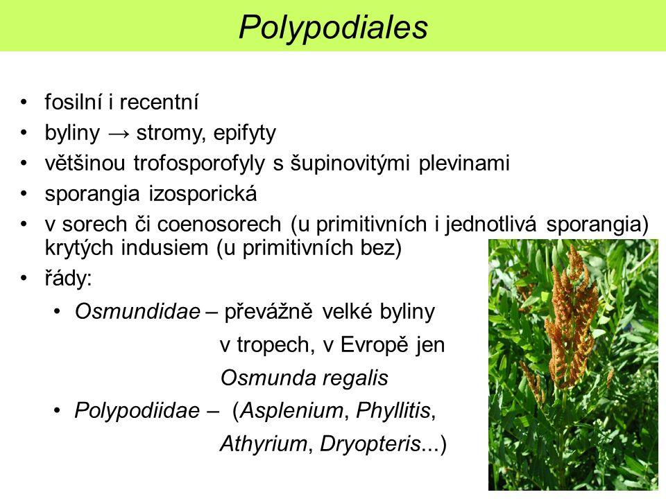 fosilní i recentní byliny → stromy, epifyty většinou trofosporofyly s šupinovitými plevinami sporangia izosporická v sorech či coenosorech (u primitiv