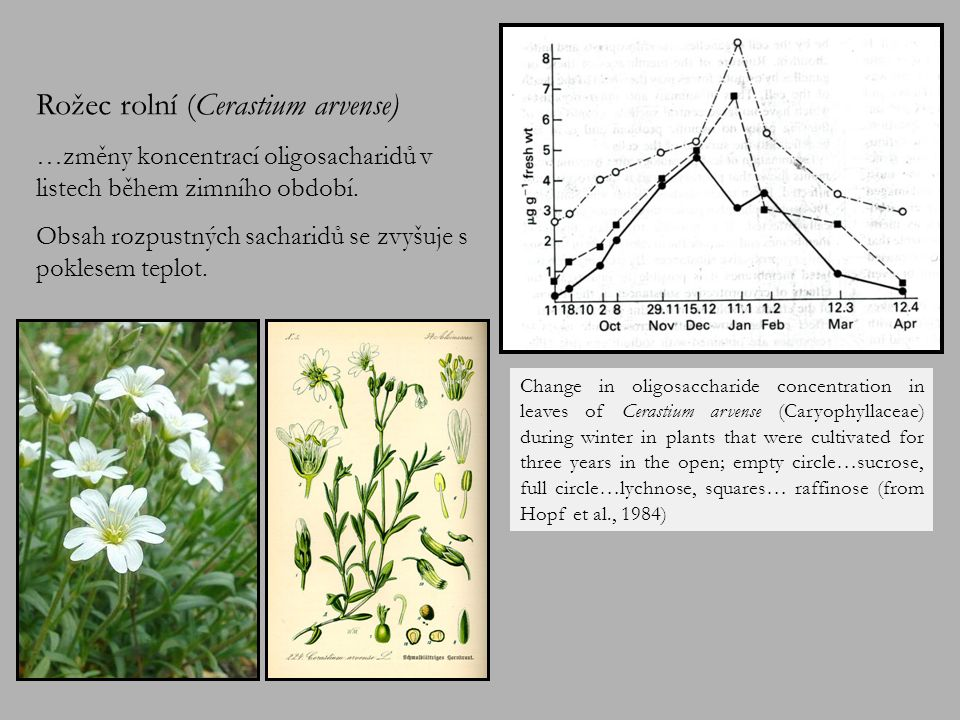 Roční průběh hromadění sacharidů v mladých listech Primula clusiana.