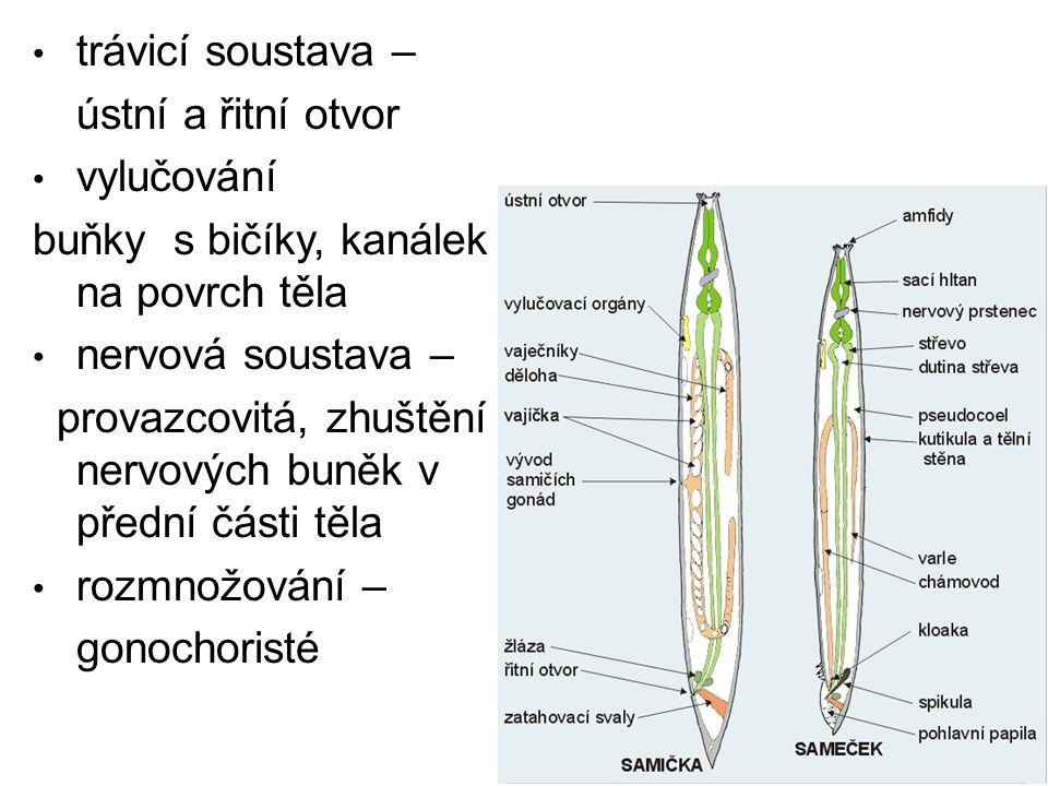 trávicí soustava – ústní a řitní otvor vylučování buňky s bičíky, kanálek na povrch těla nervová soustava – provazcovitá, zhuštění nervových buněk v p