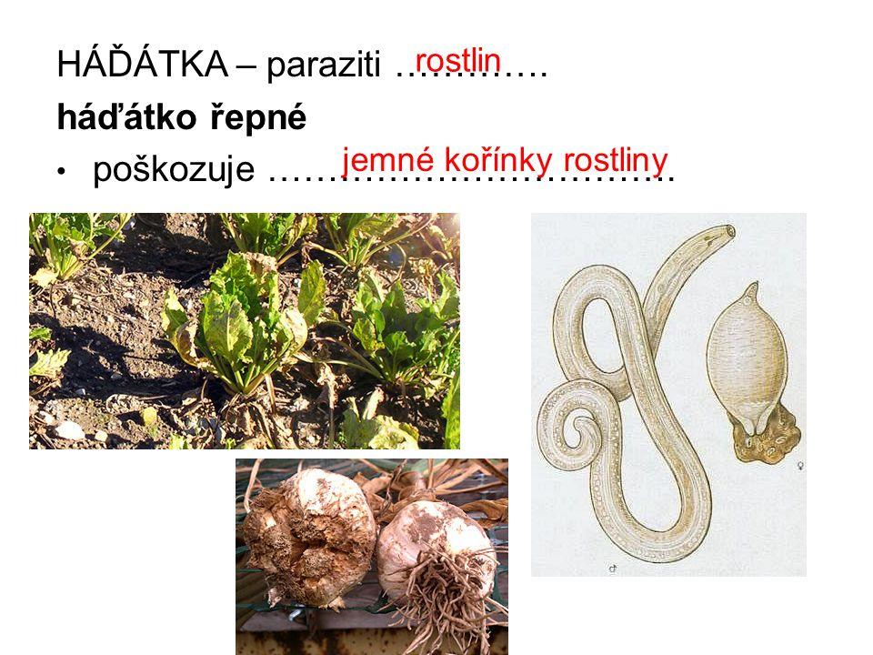 HÁĎÁTKA – paraziti …………. háďátko řepné poškozuje ……………………………. rostlin jemné kořínky rostliny