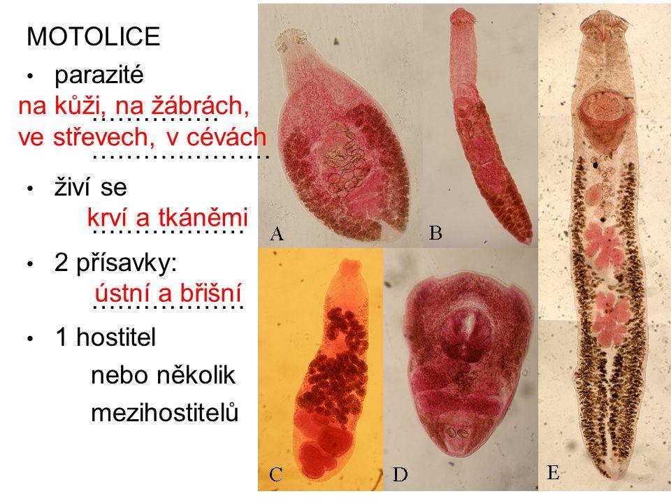 MOTOLICE parazité …………… ………………… živí se ……………… 2 přísavky: ……………… 1 hostitel nebo několik mezihostitelů na kůži, na žábrách, ve střevech, v cévách krv