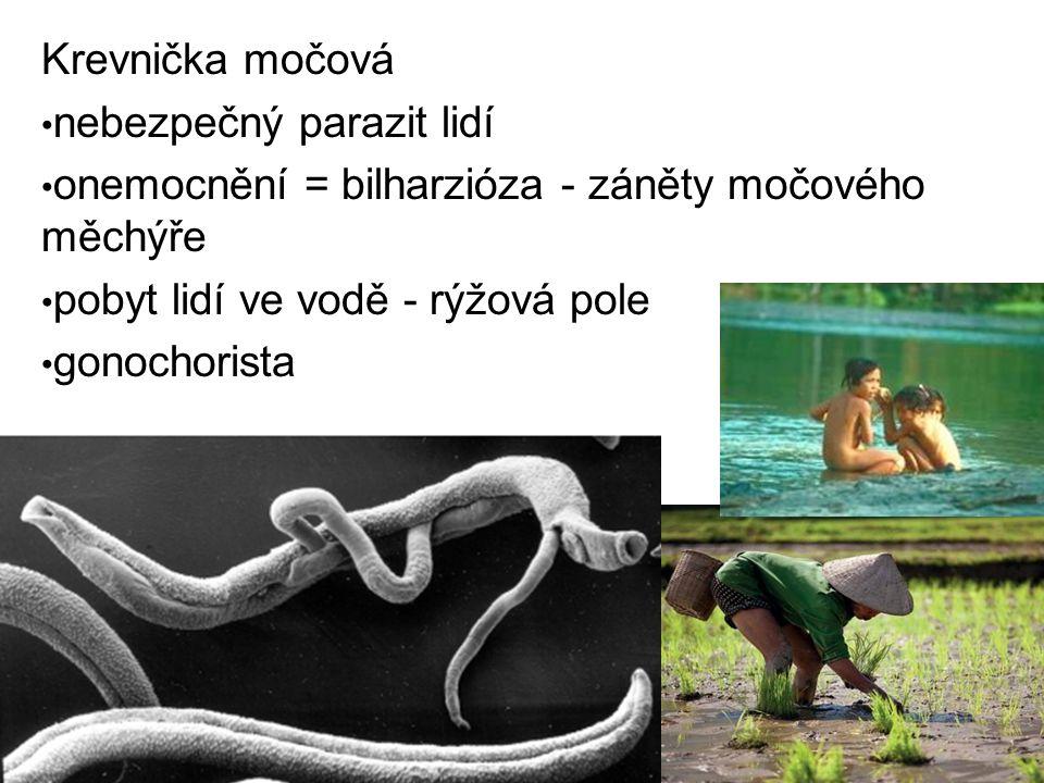Krevnička močová nebezpečný parazit lidí onemocnění = bilharzióza - záněty močového měchýře pobyt lidí ve vodě - rýžová pole gonochorista