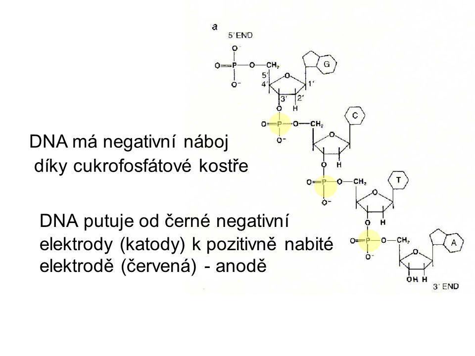 DNA má negativní náboj díky cukrofosfátové kostře DNA putuje od černé negativní elektrody (katody) k pozitivně nabité elektrodě (červená) - anodě