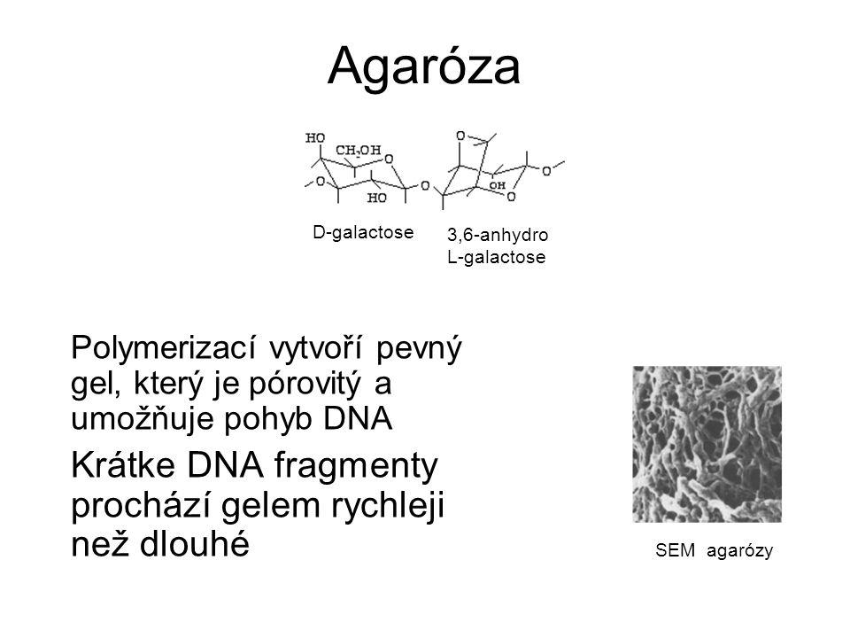 Agaróza Polymerizací vytvoří pevný gel, který je pórovitý a umožňuje pohyb DNA Krátke DNA fragmenty prochází gelem rychleji než dlouhé D-galactose 3,6