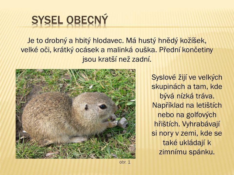 Je to drobný a hbitý hlodavec. Má hustý hnědý kožíšek, velké oči, krátký ocásek a malinká ouška.