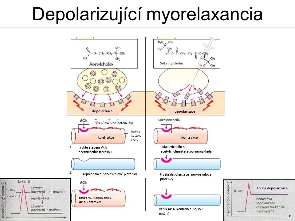 depolarizace kontrakce repolarizace nervosvalové ploténky trvalá depolarizace nervosvalové ploténky rychlé štěpení Ach acetylcholinesterasou sukcinylc
