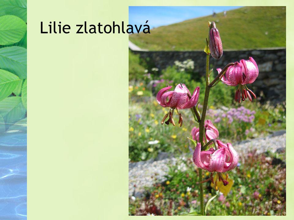 Některé chráněné rostliny: Ostružiník moruška