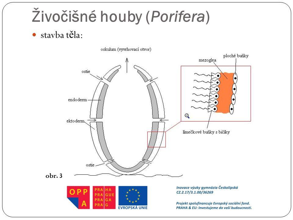 Živočišné houby (Porifera) stavba t ě la: obr. 3