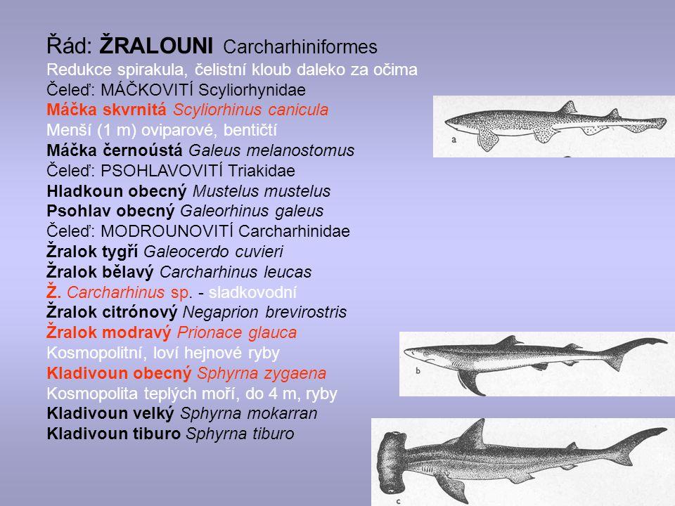 Řád: ŽRALOUNI Carcharhiniformes Redukce spirakula, čelistní kloub daleko za očima Čeleď: MÁČKOVITÍ Scyliorhynidae Máčka skvrnitá Scyliorhinus canicula Menší (1 m) oviparové, bentičtí Máčka černoústá Galeus melanostomus Čeleď: PSOHLAVOVITÍ Triakidae Hladkoun obecný Mustelus mustelus Psohlav obecný Galeorhinus galeus Čeleď: MODROUNOVITÍ Carcharhinidae Žralok tygří Galeocerdo cuvieri Žralok bělavý Carcharhinus leucas Ž.