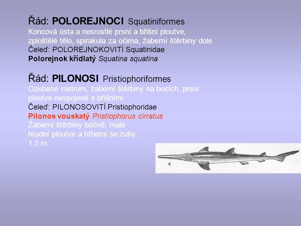 Řád: POLOREJNOCI Squatiniformes Koncová ústa a nesrostlé prsní a břišní ploutve, zploštělé tělo, spirakula za očima, žaberní štěrbiny dole Čeleď: POLOREJNOKOVITÍ Squatinidae Polorejnok křídlatý Squatina squatina Řád: PILONOSI Pristiophoriformes Ozubené rostrum, žaberní štěrbiny na bocích, prsní ploutve nespojené s břišními Čeleď: PILONOSOVITÍ Pristiophoridae Pilonos vouskatý Pristiophorus cirratus Žaberní štěrbiny bočně, malé hrudní ploutve a hřbetní se zuby.