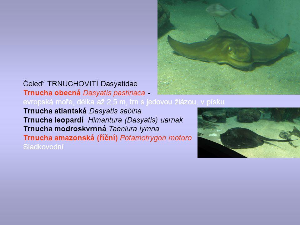 Čeleď: TRNUCHOVITÍ Dasyatidae Trnucha obecná Dasyatis pastinaca - evropská moře, délka až 2,5 m, trn s jedovou žlázou, v písku Trnucha atlantská Dasyatis sabina Trnucha leopardí Himantura (Dasyatis) uarnak Trnucha modroskvrnná Taeniura lymna Trnucha amazonská (říční) Potamotrygon motoro Sladkovodní