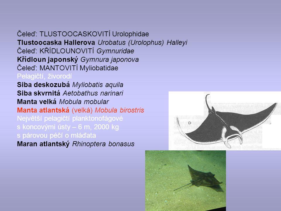 Čeleď: TLUSTOOCASKOVITÍ Urolophidae Tlustoocaska Hallerova Urobatus (Urolophus) Halleyi Čeleď: KŘÍDLOUNOVITÍ Gymnuridae Křídloun japonský Gymnura japonova Čeleď: MANTOVITÍ Myliobatidae Pelagičtí, živorodí Siba deskozubá Myliobatis aquila Siba skvrnitá Aetobathus narinari Manta velká Mobula mobular Manta atlantská (velká) Mobula birostris Největší pelagičtí planktonofágové s koncovými ústy – 6 m, 2000 kg s párovou péčí o mláďata Maran atlantský Rhinoptera bonasus
